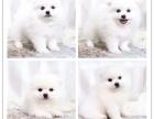 超萌超Q的哈多利亚球形博美宝宝 小体袖珍犬 健康质