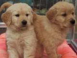 重庆出售 纯种金毛幼犬 疫苗齐全出售中 可签协议健康保障