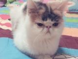 成年加菲母猫转让