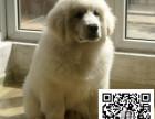 纯种大白熊犬 健康有保障丨签署协议支持送上门