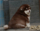 阿拉斯加出售 阿拉斯加多少钱 宠物狗