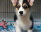 南京柯基犬哪里有卖的 南京柯基犬价格多少钱