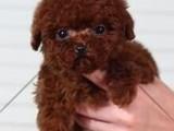 买泰迪必看 茶杯泰迪 玩具泰迪 送狗到家颜色齐全