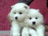 益阳哪有萨摩耶犬卖 益阳萨摩耶犬价格 益阳萨摩耶犬多少钱