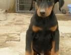 上海哪里有杜宾犬卖 泰迪金毛哈士奇秋田博美阿拉多少钱价格