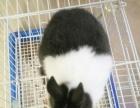 侏儒兔宠物兔