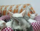 孟加拉豹猫,正规猫舍各种宠物。