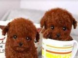 基地专业繁殖一精品泰迪幼犬一质保售后包终身一签协议