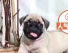 超萌迷人的巴哥幼犬 八哥犬不掉毛没体味品质健康保证