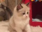 出售纯种宠物猫咪猫猫 美国布偶猫 布偶小猫 海豹双