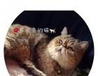 纯种加菲猫,异国短毛猫