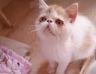红白樊一线加菲小公1600 猫咪价格以标题价格为