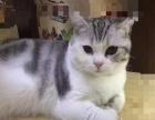 美短加白宠物猫1岁多,疫苗齐全