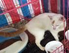 金筷插银房宠物猫出售
