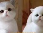 加菲猫短毛猫五个月大找新家