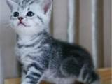 北京怀柔虎斑猫怎么卖