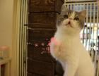 深圳哪里有卖加菲猫幼崽 深圳较便宜加菲猫多少钱一只保健康