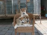 适合家庭饲养秋田犬多少钱 要纯一点的