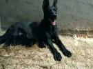 出售纯种黑狼犬 黑狼幼犬 质量好 血统纯
