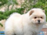 实物拍摄精品美系松狮幼犬保纯种健康签终身质保