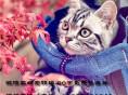 猫舍出售纯种英短短毛猫包纯包健康可上门挑选