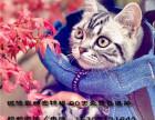 CFA注册猫舍专注繁育高品质美国短毛猫保健康