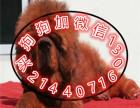 本地出售狮子头藏獒 纯种大骨架 可上门挑选