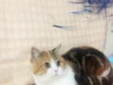 《猫咪部落》高品质种公借配小猫出售