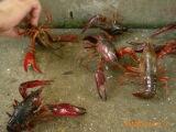 鲜活小龙虾、鲜活水产品养殖、小龙虾养殖种苗、虾种