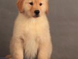 上海 純種金毛幼犬 疫苗齊全出售中 可簽協議健康保障