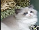 自家繁育纯血布偶幼猫多只弟弟妹妹都有可办理证书欢