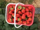 冬草莓春草莓自己采摘巧克力草莓農戶種植草莓采摘游玩
