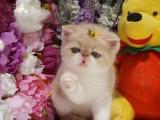 广州哪里加菲猫幼崽的广州加菲猫多少钱一只广州哪有里宠物店