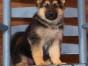 大连犬业 专业养殖基地 本地狗场 各种犬种签证包活