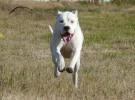 长春纯种杜高养殖基地 品相一流 包健康 可视频选狗