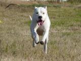 拉布拉多犬多少钱一只 拉布拉多犬图片
