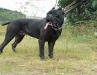 优质卡斯罗幼犬出售价格实惠保证满意质量健康第一