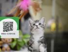 镇江哪里有美短出售 镇江美短价格 镇江宠物猫转让出售