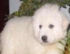 自家喂养的一窝纯种大白熊幼犬低价转让 实物拍摄 包健康