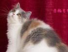 浩瀚名猫馆 CFA猫舍家庭繁殖包健康英短