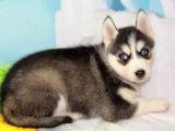 郑州出售 纯种哈士奇幼犬 狗狗出售 可签协议健康保障