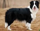 出售纯种边境牧羊犬 边牧幼犬 品质好信誉高质量保