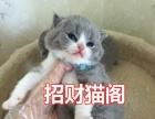自家繁殖 纯种英短蓝猫/蓝白 包子脸大眼睛 包健康