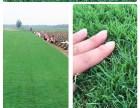 北京草坪房山种植中心供应冷季型草坪高羊茅优质早熟禾草坪