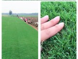 北京草坪房山種植中心供應冷季型草坪高羊茅優質早熟禾草坪