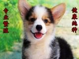 诚信交易、纯种柯基犬、健康终身保障、签协议送狗用品