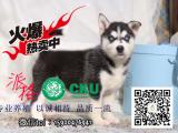 出售高品质西伯利亚哈士奇雪橇犬宝宝健康保证质量保证