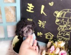 出售纯种灰色泰迪贵宾犬包纯种健康 专业繁殖 可上门