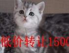 短毛猫1800元,蓝猫英短,美短加白,超低价转让