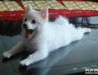 成都什么地方卖尖嘴银狐幼犬 纯白色银狐多少钱